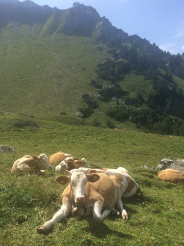... die Kühe halten Ausschau nach der Tochter.