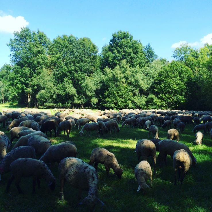 Und Schafe trifft man auch.